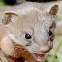 growling weasel